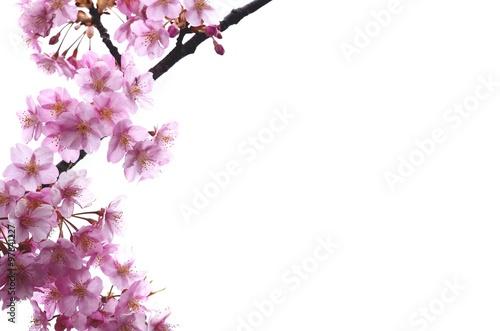 Poster 桜の花 白バック