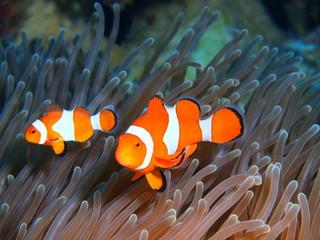 Ryby Klaun, wyspa Bali
