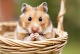 Little hamster in a basket