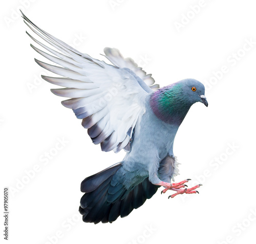 flying pigeon bird in action isolated - 97905070