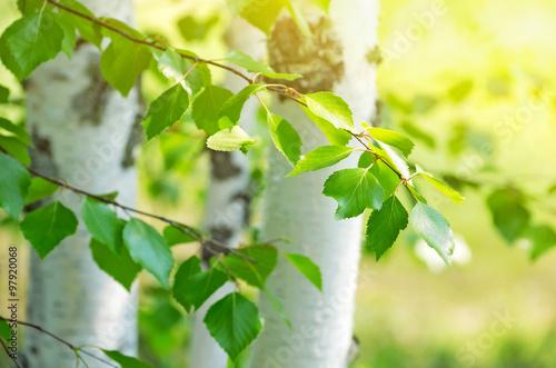 Plexiglas Berkenbos Bright birch branches in the sunlight