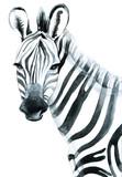 Fototapety Watercolor zebra isolated on white background raster illustration