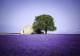 Fototapety fields of blooming lavender flowers with old farmhouse - Provence, France