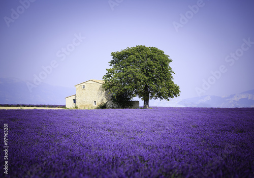 obraz PCV fields of blooming lavender flowers with old farmhouse - Provence, France