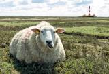 Fototapety gemütliches Schaf in Nordfriesland
