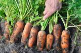 farmer harvesting fresh organic carrots