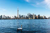 White swan and Toronto skyline