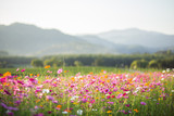 Fototapeta Kosmos - Cosmos flower fields © littlestocker