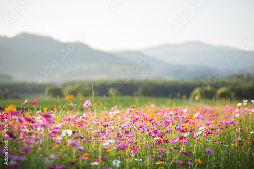 Poster, Tablou Cosmos flower fields