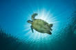 A Hawksbill Turtle - eretmochelys imbricata - swims under the sun. Taken in Komodo National Park, Indonesia.