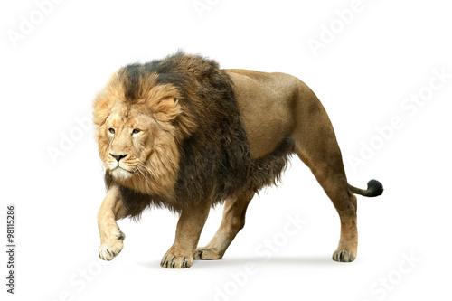Papiers peints Hyène asian lion isolated on white