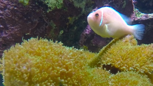 Foto op Plexiglas Indonesië Tropical reef fish The Clownfish or Anemonefish sheltering among the tentacles of its sea anemone. Underwater footage from coral reef in Indian Ocean.