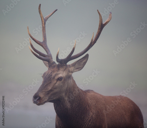 Red deer with antlers - 98202446