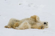 a lazy polar bear relaxes on his back in the snow and looks toward the camera