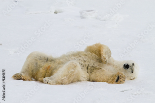 Foto op Canvas Natuur a lazy polar bear relaxes on his back in the snow and looks toward the camera