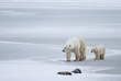 a polar bear mom and cub walk across swirled ice with two rocks in the foreground