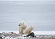 a polar bear mother and cub sitting in front of icy background and resting; mother looking to the left, and cub looking towards camera.
