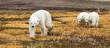 polar bear mom leads twin cubs towards camera across yellow arctic moss