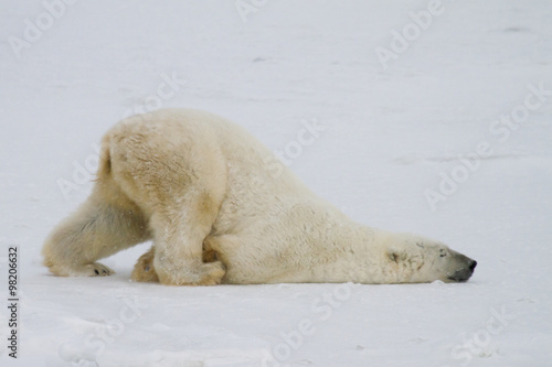 Foto op Canvas Natuur a silly polar bear pushes across the snow on his belly.