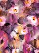 Obrazy na płótnie, fototapety, zdjęcia, fotoobrazy drukowane : 고상한 퍼플칼라의 배경 속에 아름다운 연핑크의 양귀비