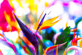 Crane Flower or Bird of Paradise - 98249409