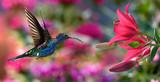 Male violet sabrewing (Campylopterus hemileucurus) in flight - 98278440