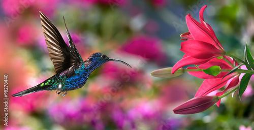 Poster Male violet sabrewing (Campylopterus hemileucurus) in flight