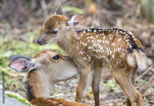 Fawn and mom deer licking, focus on baby eye плакат