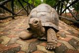 An Aldabra giant tortoise looks out from its shell on Prison Isl
