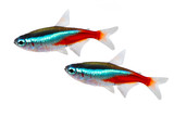 Fototapety Swarm of Neon Tetra Paracheirodon innesi freshwater fish isolated