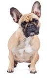 Französische Bulldogge Hund Rassehund sitzt auf Boden und guckt