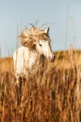 Biały koń Camargue
