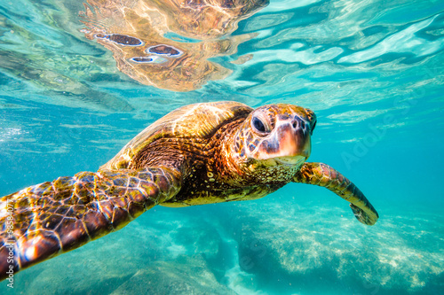 Póster Endangered Hawaiian Green Sea Turtle cruising in the warm waters of the Pacific