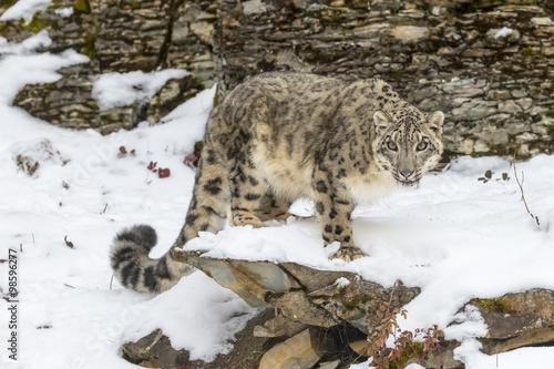 Foto op Plexiglas Panter Snow Leopard