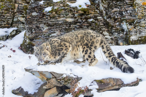 Zdjęcia Snow Leopard
