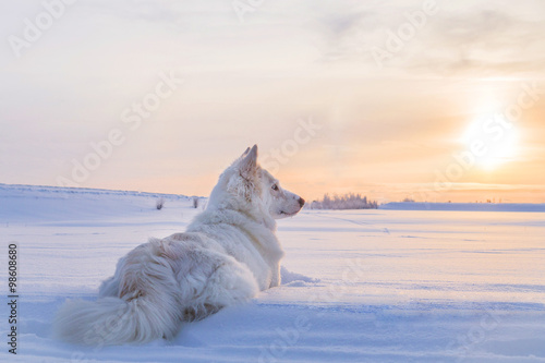 Husky with the Sun Canvas