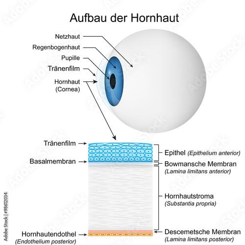 GamesAgeddon - Aufbau der Hornhaut, vektor illustration ...