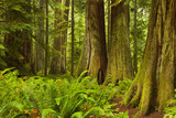 Fototapety Lush rainforest in Cathedral Grove, Vancouver Island, Canada