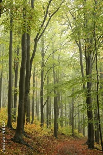 bukowy-las-w-mglistej-pogodzie-na-poczatku-jesieni