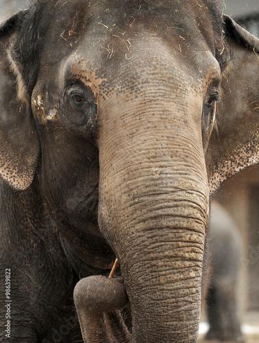 Fototapeta Big elephant profile