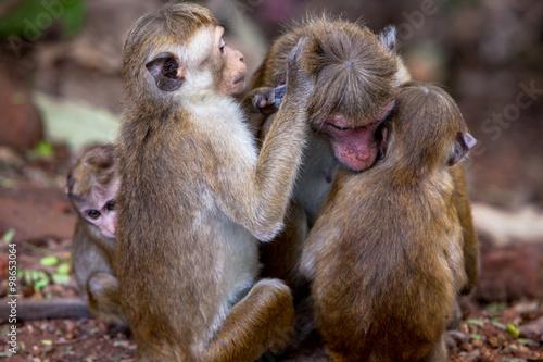 Foto op Canvas Aap Toque monkeys family in natural habitats