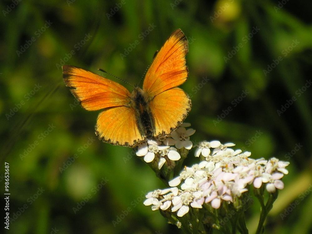 biały krwawnik kwiat - powiększenie