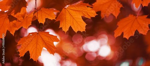 maple leaf red autumn - 98688492