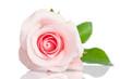 Obrazy na płótnie, fototapety, zdjęcia, fotoobrazy drukowane : beautiful single pink rose lying down on a white background