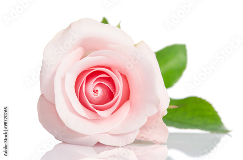 Staande foto Roses beautiful single pink rose lying down on a white background