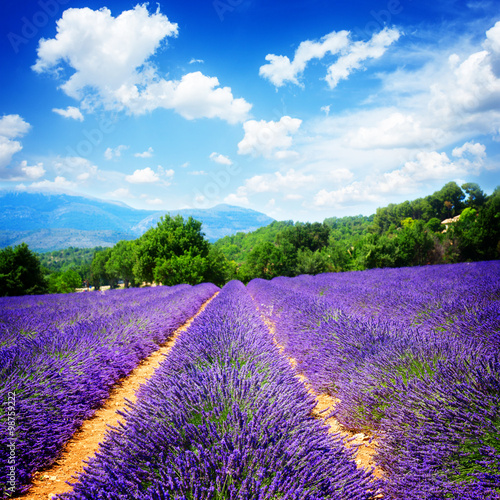 obraz lub plakat Lavender field