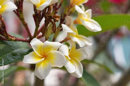 Staande foto Kameleon white and yellow Plumeria flower