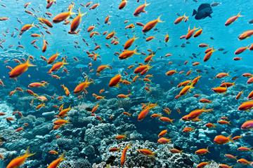 Ławica ryb anthias na rafie koralowej