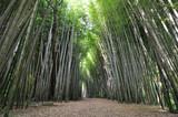 Path through a thick bamboo forest garden