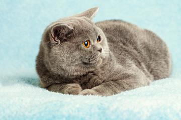 Portret niebieski Kot brytyjski